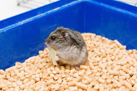 little hamster eats and sits in his house on the litter
