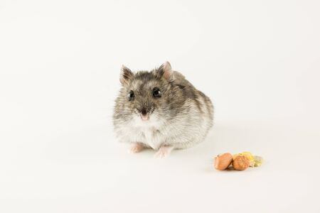 little Dzungarian hamster is looking at the tasty kernels with curiosity Stock Photo