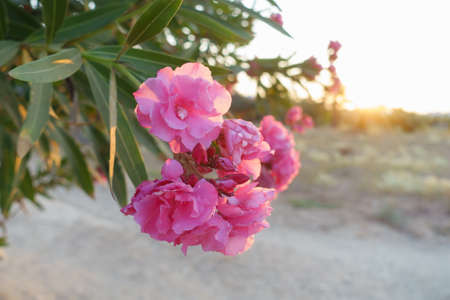 delicate pink petals of large flowers in the light of the setting sun Stock Photo
