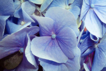 photo of a beautiful flower with delicate blue petals Stock Photo