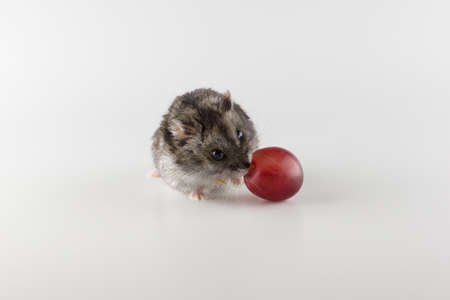 little gray hamster eats on a white background