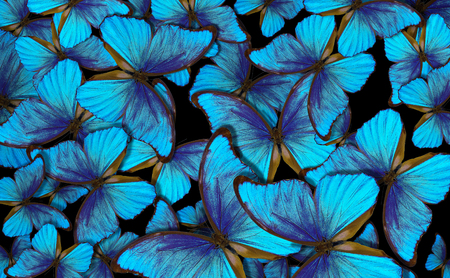 Wings of a butterfly Morpho. Flight of bright blue butterflies abstract background. Stockfoto