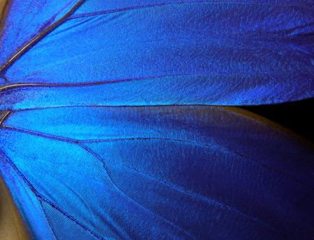 ings of a butterfly Morpho texture background. Morpho butterfly.