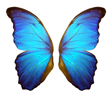 Wings of a butterfly Morpho. Morpho butterfly wings isolated on a white background. 스톡 콘텐츠