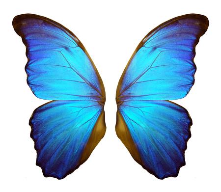 Flügel eines Schmetterlings Morpho. Morpho Schmetterlingsflügel lokalisiert auf einem weißen Hintergrund.