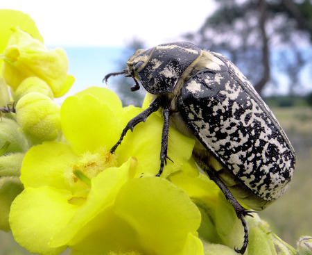 Beetle on yellow flower, beautiful marble coloring. Closeup.