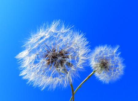 Abstract blue dandelion seeds texture background. Extreme macro. Soft focus. Banco de Imagens