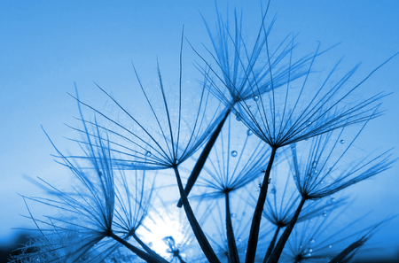 Abstract blue dandelion flower background, extreme closeup.
