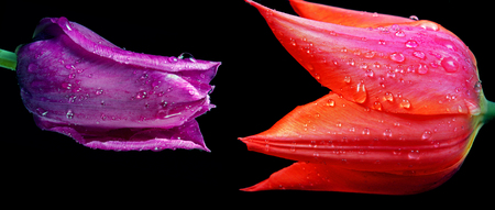 loving couple concept - man and woman, foreplay of love. Tulips in drops of dew close up.