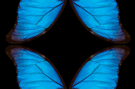 Wings of a butterfly Morpho texture background. Morpho butterfly. Stock Photo