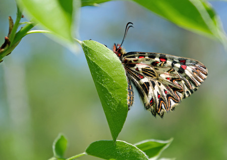 beautiful butterfly on a green leaf. spring butterflies. southern festoon. copy spaces.