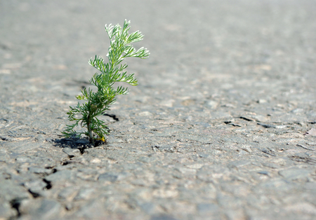 A crack in the asphalt. Grass wormwood. Stock Photo