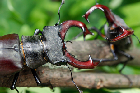 Stag beetles. Duel of two males. close up