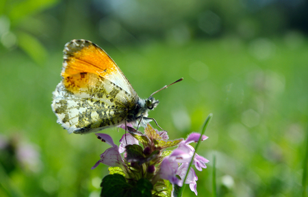 orange tip butterfly. butterfly on a sunny meadow. spring butterflies. bright transparent wings.