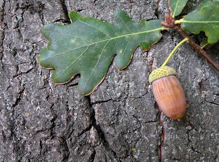 oak leaves against a background of oak bark. Autumn background. Copy spaces.