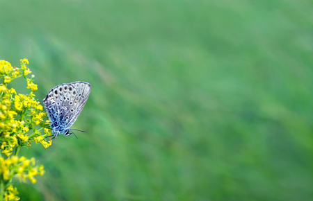 beautiful butterfly on a meadow. copy spaces. gossamer-winged butterflies.