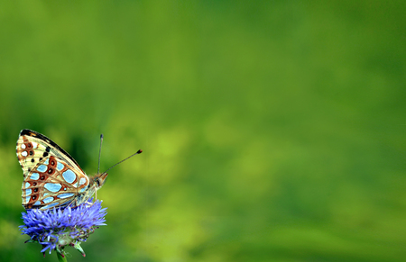 beautiful butterfly on the meadow. Butterfly high brown fritillary. copy spaces. Stock Photo