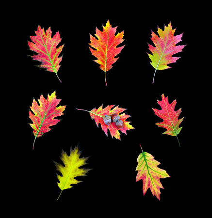 collection of oak leaves isolated on black Stockfoto