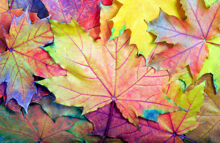 colors of rainbow. colorful maple leaves texture background. top view. fallen leaves.