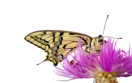 Butterfly on a flower isolated on white. Swallowtail butterfly, Papilio machaon Stock Photo