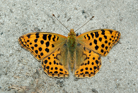 Orange beautiful butterfly sitting on the sand. Butterfly high brown fritillary. Stok Fotoğraf