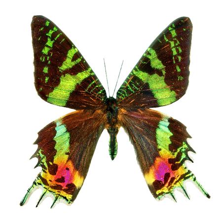 Butterfly Sunset Moth Urania ripheus Madagascar isolato su sfondo bianco. Ali multicolori di una farfalla tropicale