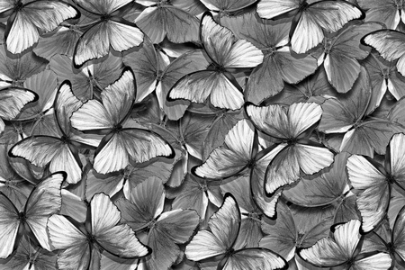 black and white natural pattern. abstract pattern of morpho butterflies. wings of a butterfly morpho. flight of black and white butterflies abstract background.