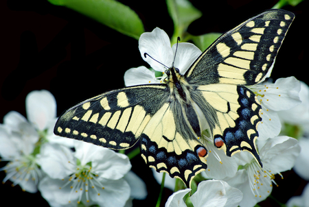 Beautiful butterfly sitting on a flower isolated on black. Butterfly and flowering branch of cherry. Swallowtail butterfly, Papilio machaon.