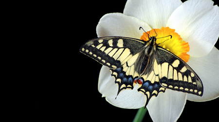 Beautiful butterfly sitting on a flower isolated on black. Butterfly and narcissus flower. Swallowtail butterfly, Papilio machaon. Copy spaces. Stockfoto