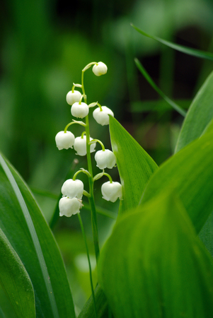 flower lily of the valley close-up