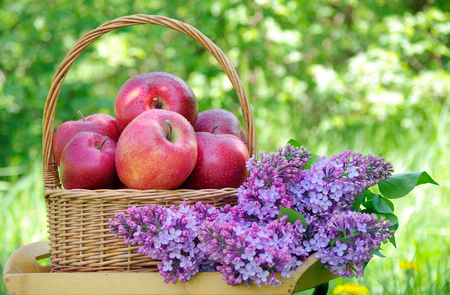 Fresh red apples in a wicker basket in the garden. Picnic on the grass. Ripe apples and spring flowers.