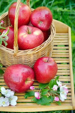 Weidenkorb im Garten. Picknick im Gras. Reife Äpfel und Apfelblüten. Nahansicht