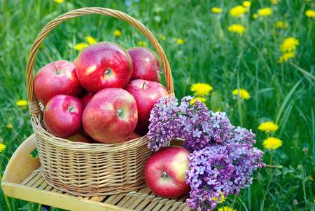 Pommes rouges fraîches dans un panier en osier dans le jardin. Pique-nique sur l'herbe. Pommes mûres et fleurs printanières.