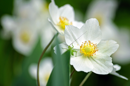 beautiful white flowers in the garden. small green grasshopper on white spring flowers. Reklamní fotografie - 123819197