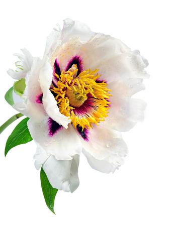 beautiful peony flower isolated on white close up. Reklamní fotografie - 123819199