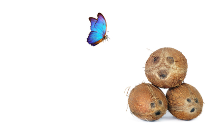 Concept be happy. Coconut mood. Tropical fruits coconuts isolated on a white. Bright blue tropical morpho butterfly. Copy spaces