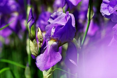 Iris flower in the garden. close up Reklamní fotografie - 123819782