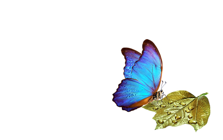 clean environment concept. pure nature. blue morpho butterfly sitting on a golden leaf in water droplets. copy spaces Reklamní fotografie - 123819788