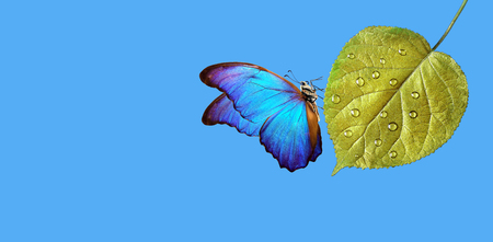 clean environment concept. pure nature. blue morpho butterfly sitting on a golden leaf in water droplets. copy spaces Reklamní fotografie - 123819827