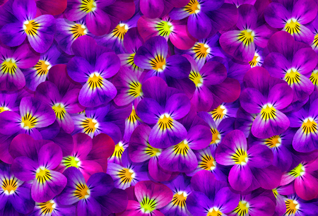 violet flowers. floral textural background. natural abstract pattern of blue and purple violets. pansy texture background
