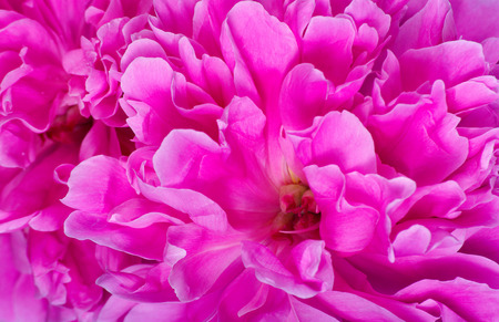 pink peony petals texture background. peony flowers close up Reklamní fotografie - 123819853