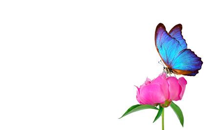 Beautiful blue morpho butterfly on a white background. copy spaces. pink peony bud and butterfly Reklamní fotografie - 123819873