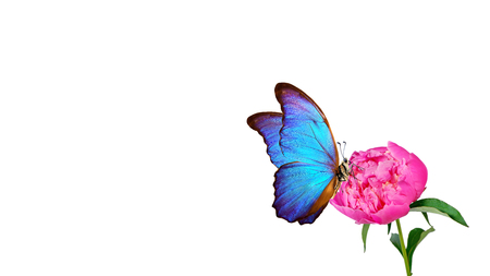 Beautiful blue morpho butterfly on a white background. copy spaces. pink peony bud and butterfly