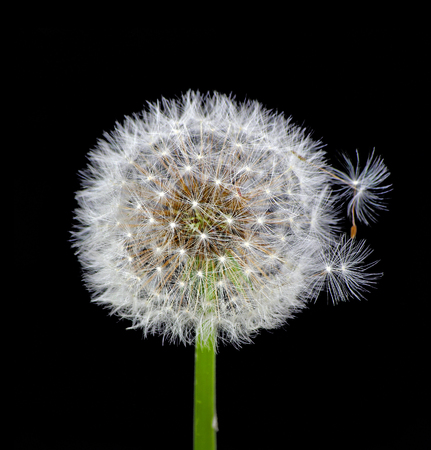 white fluffy dandelion on black. close up