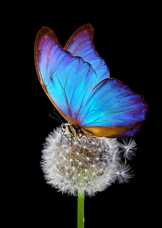 white fluffy morpho butterfly on blue background. close up