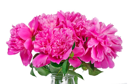 pink peony flower isolated on white.