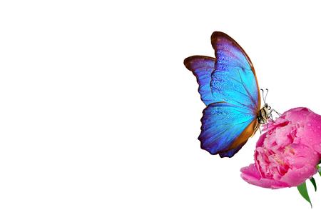 Beautiful blue morpho butterfly on a white background. pink peony bud and butterfly Reklamní fotografie - 123819897