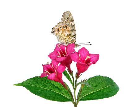 butterfly on a flower. beautiful butterfly painted lady on flower