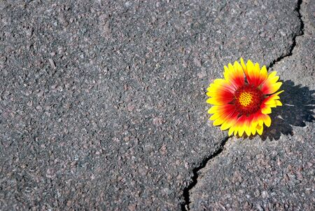 Crack on the asphalt road. A crack in the flower and a beautiful flower. Gaillardia. Copy spaces.