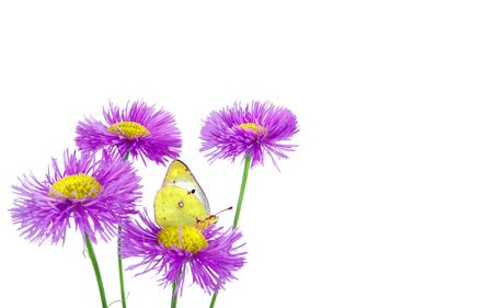 butterfly clouded yellow on a flowers. beautiful yellow butterfly on flowers isolated on a white.
